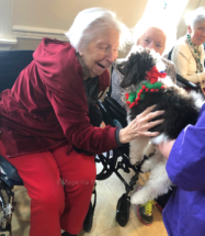 Moyen poodle puppy as therapy dog