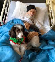 Moyen poodle puppy as therapy dog