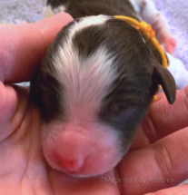 Newborn moyen poodle puppy