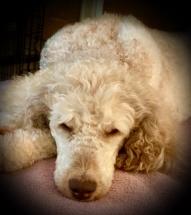 Silver beige parti poodle
